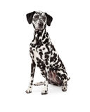 Beautiful Dalmatian Dog Sitting Royalty Free Stock Photography