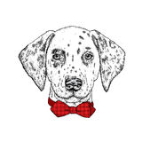 Beautiful dalmatian painted by hand. Vector illustration for a card or poster, print on clothes. Cute dog in glasses and tie. Pedi Stock Images