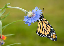 Beautiful Danaus plexippus, Monarch butterfly Royalty Free Stock Photo