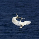Beautiful dancing. Two egrets are dancing together Royalty Free Stock Photography