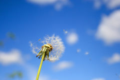 Beautiful dandelion stock photography