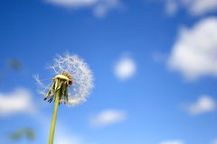 Beautiful dandelion Royalty Free Stock Photo