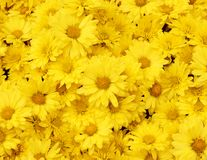 Beautiful dandelion background, yellow flowers is blooming. Royalty Free Stock Image