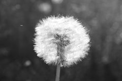 Beautiful dandelion. Black and white photo with a single flower. Stock Photo