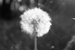 Beautiful dandelion. Black and white photo with a single flower. Royalty Free Stock Photos