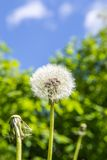 Beautiful Dandelion with Blue Sky and Green Shrubbery. Beautiful Dandelion with a Blue Cloudy Sky as Backdrop Stock Photo