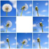 Beautiful dandelion collage. Beautiful dandelion щи blue sky, collage royalty free stock photos