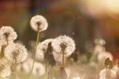 Beautiful dandelion field - dandelion seeds Stock Photo