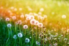 Beautiful dandelion flower Royalty Free Stock Photos