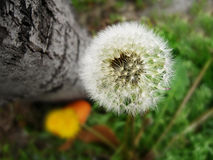Beautiful dandelion flower(Taraxacum officinale) macro photo Stock Photo