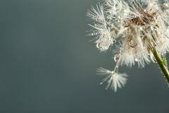 Beautiful dandelion flower with water drop. S on color background, closeup royalty free stock photo