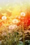 Beautiful dandelion flowers Stock Photo