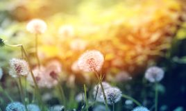 Beautiful dandelion flowers Stock Photography