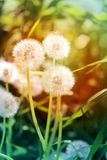 Beautiful dandelion flowers Stock Photos