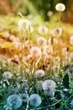 Beautiful dandelion flowers Stock Photo