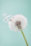 Beautiful dandelion flowers with flying feathers on turquoise background, vintage card Royalty Free Stock Photos