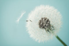 Beautiful dandelion flowers with flying feathers on turquoise background, vintage card Stock Photography