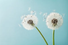 Beautiful dandelion flowers with flying feathers on turquoise background, vintage card Stock Image