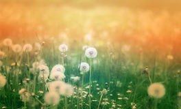 Beautiful dandelion flowers Stock Images