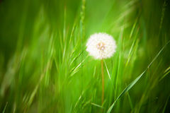 Beautiful dandelion with green grass background.  royalty free stock photography