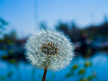 Beautiful dandelion macro. Amazing photo of dandelion next to lake on a summer day Royalty Free Stock Photo
