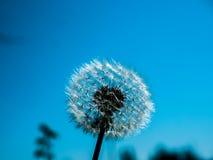 Beautiful dandelion macro. Amazing photo of dandelion next to lake on a summer day Stock Image