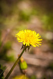 Beautiful dandelion on a natural background Stock Images