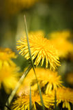 Beautiful dandelion on a natural background Stock Photos