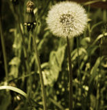 Beautiful dandelion, perfection and simplicity of style Royalty Free Stock Photos
