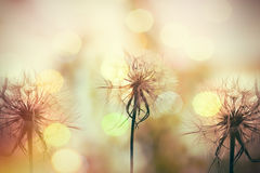 Beautiful dandelion seeds lit by sunlight Stock Image