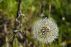 Beautiful dandelion on a sunny day in the forest Stock Photography