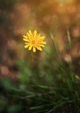 Beautiful dandelion in sunset Royalty Free Stock Photos