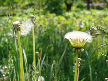 Beautiful dandelion. Two dandelions in the grass Stock Image