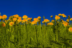 Beautiful  dandelions on a background of blue sky Royalty Free Stock Image