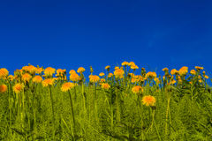 Beautiful  dandelions on a background of blue sky Stock Image