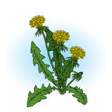 Beautiful dandelions. Vector illustration. Plants and flowers. Beautiful dandelions. Vector illustration. Beautiful dandelions. Vector illustration. Beautiful Stock Photos