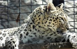 Wallpaper of closeup of wild leopard lying on a wooden board at the zoo, portrait of predator feline in a cage. Beautiful dangerous leopard lying on a wooden Royalty Free Stock Photo