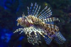 Beautiful and dangerous Lionfish Pterois volitans Linnaeus in aquarium. stock images