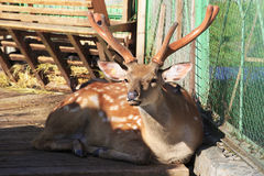 Beautiful dappled deer in petting zoo. Stock Photo