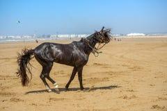 Beautiful dark arabian stallion galloping Royalty Free Stock Image