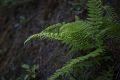 Beautiful dark background of the forest fern. Summer dark green deep forest fern wallpaper background Royalty Free Stock Images