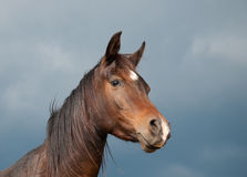 Beautiful dark bay Arabian horse Stock Photos