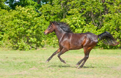 Beautiful dark bay Arabian horse galloping Stock Images