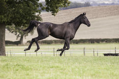 Beautiful dark bay horse galloping Stock Photography
