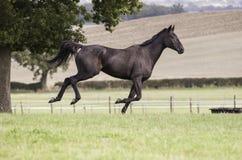 Beautiful dark bay horse galloping Stock Photography