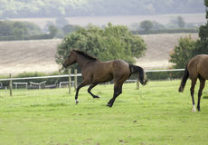 Beautiful dark bay horse galloping Royalty Free Stock Image