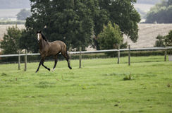 Beautiful dark bay horse running in a field Stock Image
