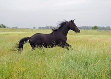Beautiful dark-bay mare gallops at the field. Beautiful dark-bay mare of the  sporting breed gallops on the field Stock Photography