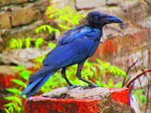 Beautiful Indian jungle crow or Corvus culminatus Royalty Free Stock Images