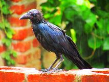 Beautiful Indian jungle crow or Corvus culminatus Royalty Free Stock Photo